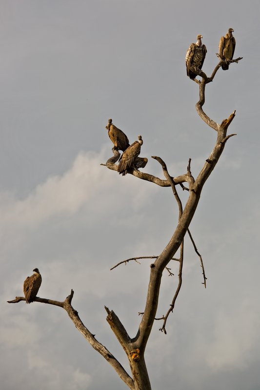 large_Vulture_Tree_10-101.jpg