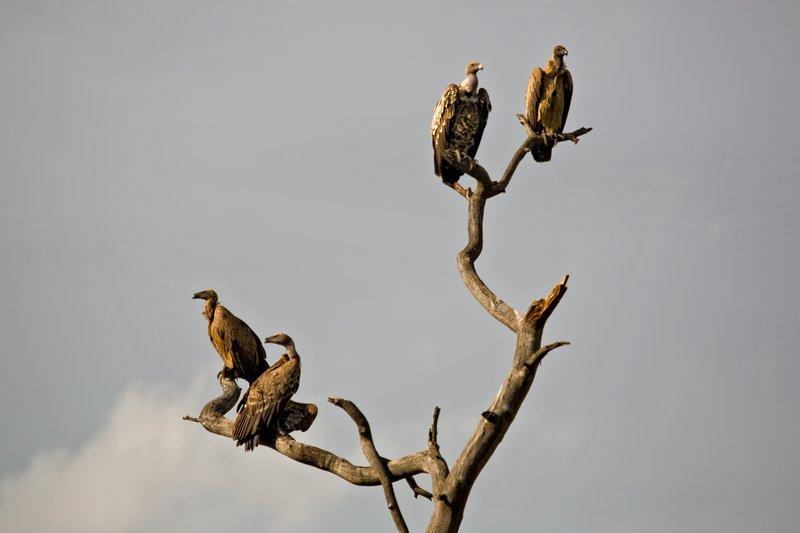 large_Vulture_Tree_10-102.jpg