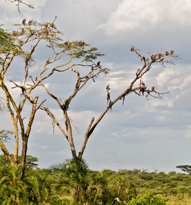 large_Vulture_Tree_10-103.jpg