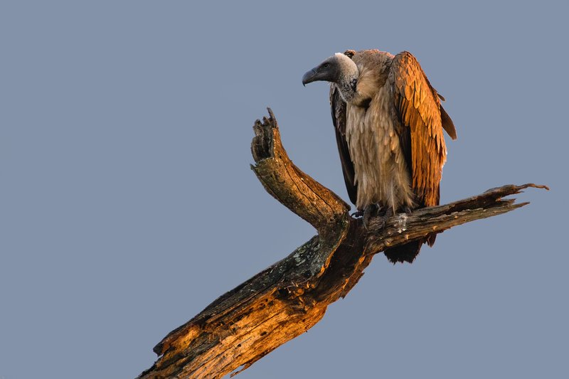 large_Vulture__A.._Backed_101.jpg