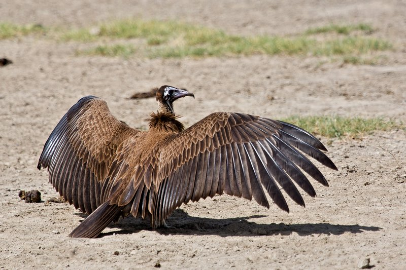 large_Vulture__Hooded_8-4.jpg