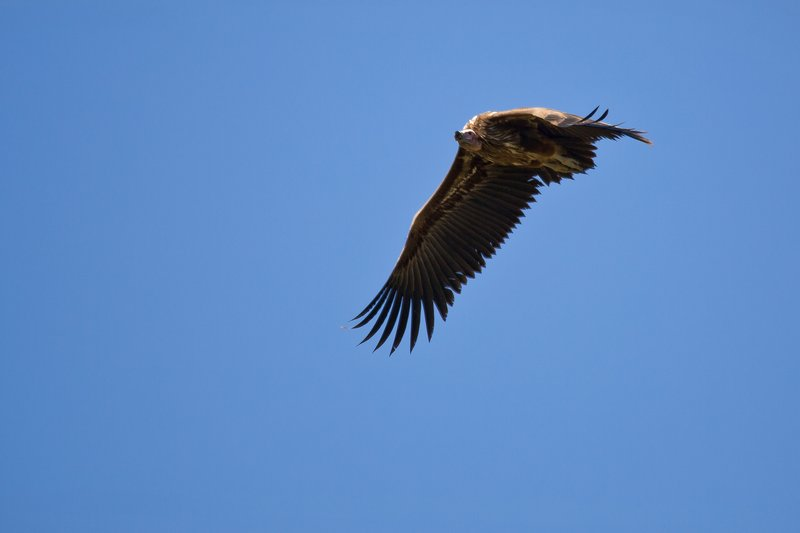 large_Vulture__L..Faced_10-51.jpg