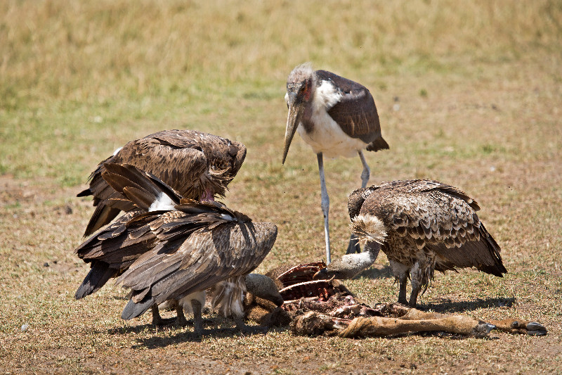 symbiotic relationship of a marabou stork