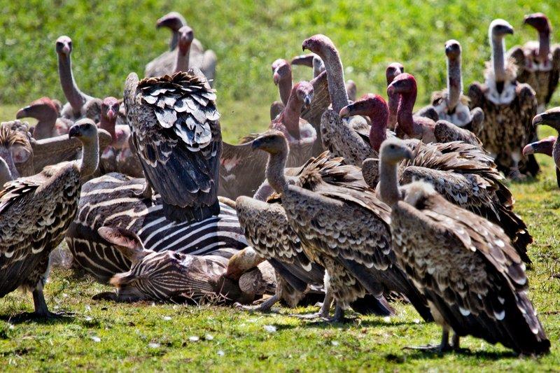 large_Vultures_E.._Zebra_12-2.jpg