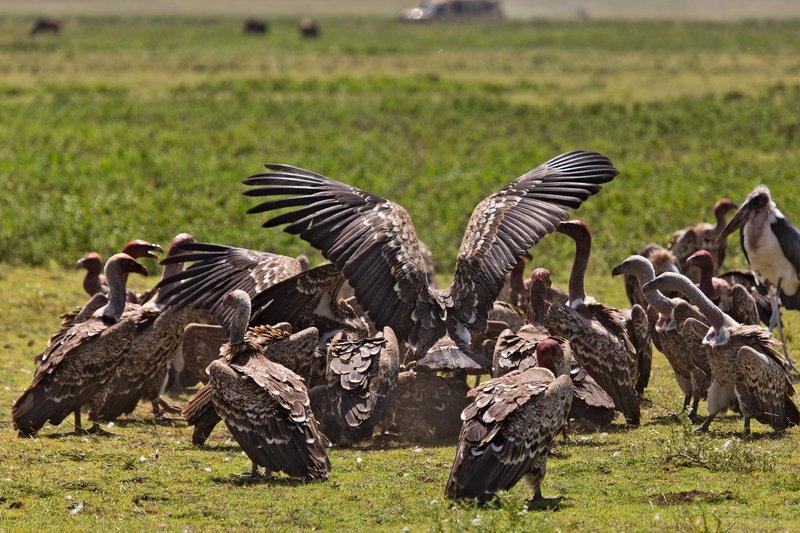 large_Vultures_E.._Zebra_12-6.jpg