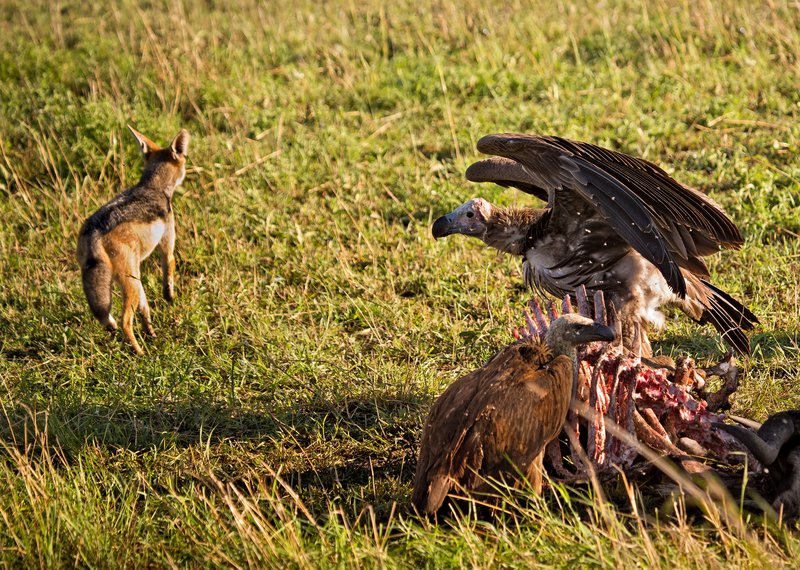 large_Vultures__..Jackal_10-3.jpg