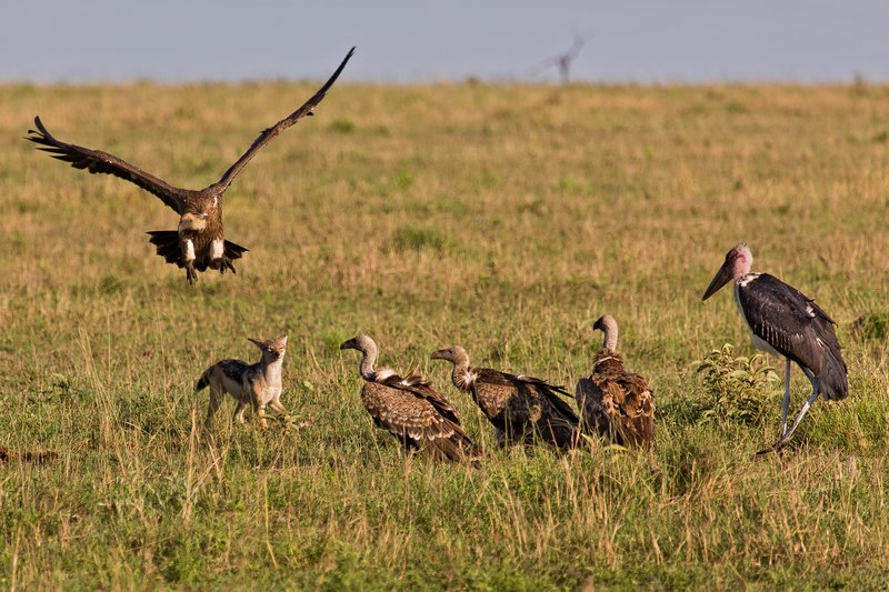 large_Vultures__..Jackal_10-7.jpg