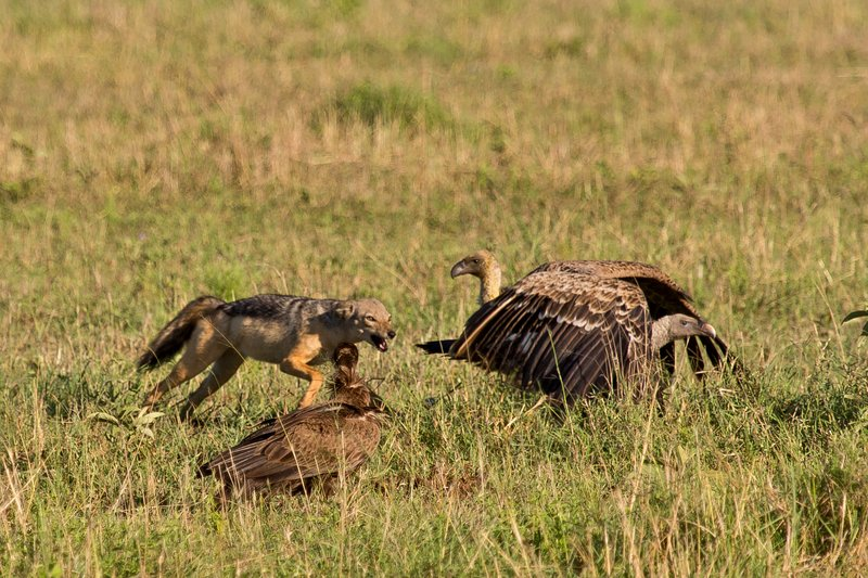 large_Vultures__..Jackal_10-9.jpg
