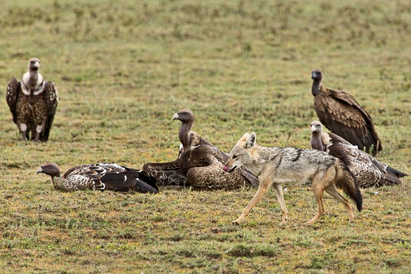 large_Vultures__..Jackal_7-14.jpg