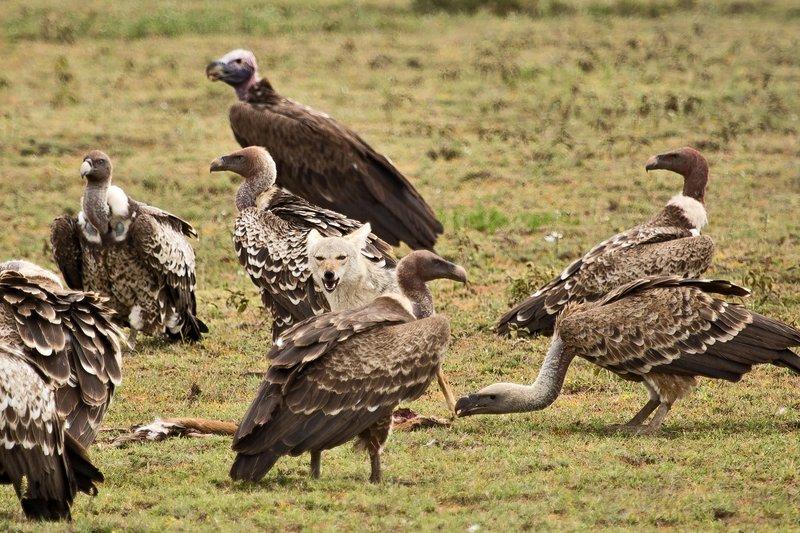 large_Vultures__.._Jackal_7-1.jpg