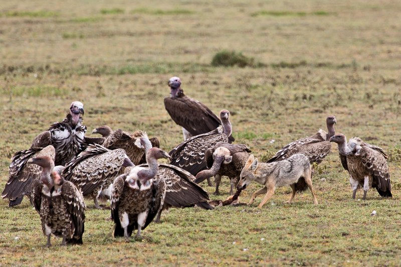large_Vultures__.._Jackal_7-3.jpg