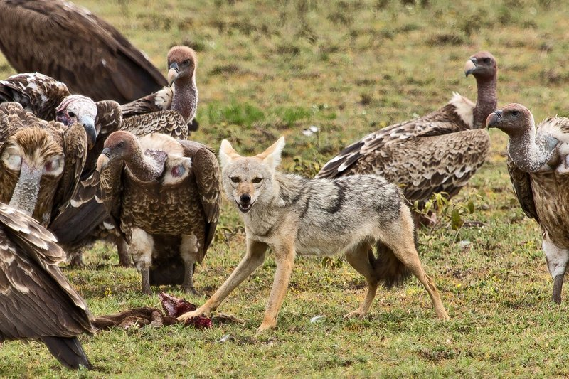 large_Vultures__.._Jackal_7-5.jpg