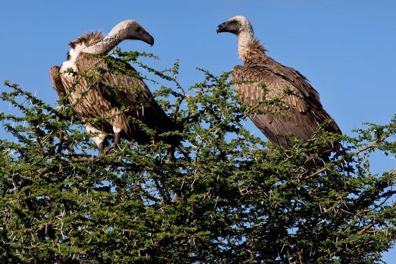 large_Vultures__.._Necked_9-1.jpg