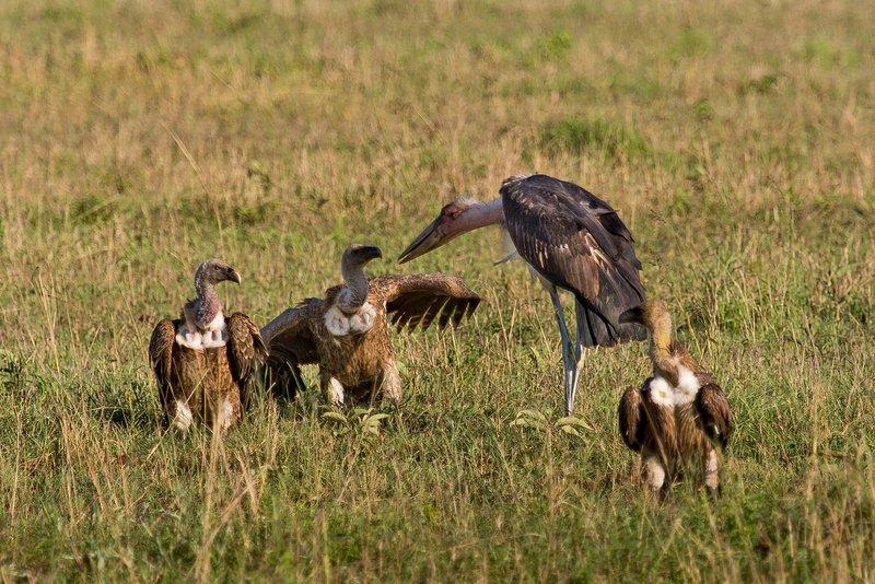 large_Vultures__.._Stork_10-1.jpg