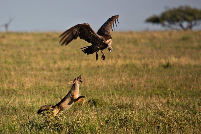 large_Vultures__..ackal_10-11.jpg