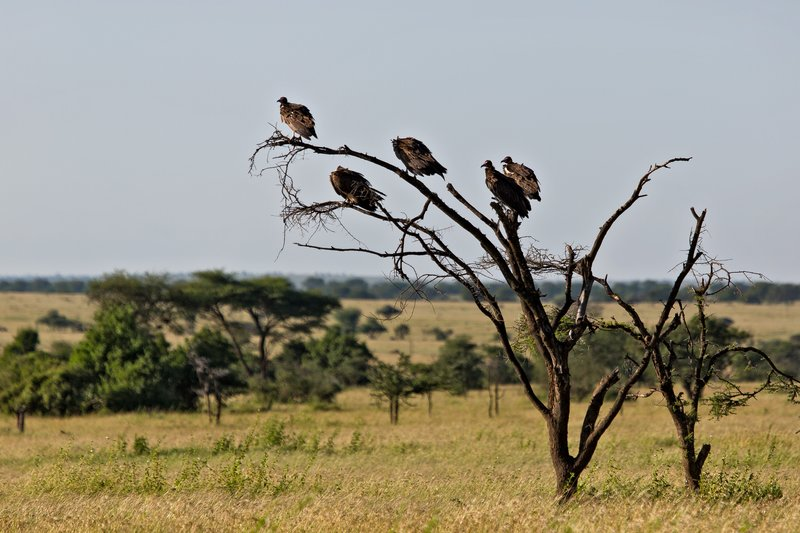 large_Vultures__Hooded_10-5.jpg
