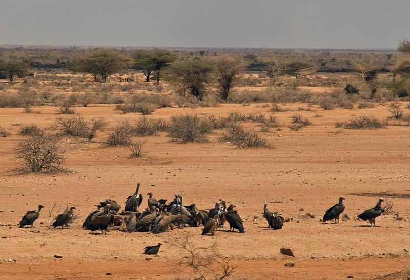 large_Vultures_f..dead_animal.jpg