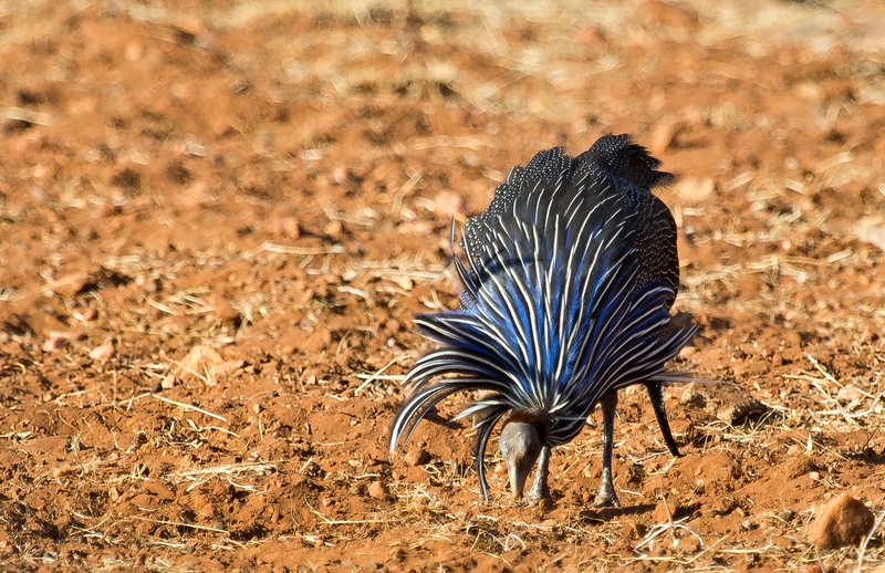 large_Vulturine_Guineafowl_21.jpg