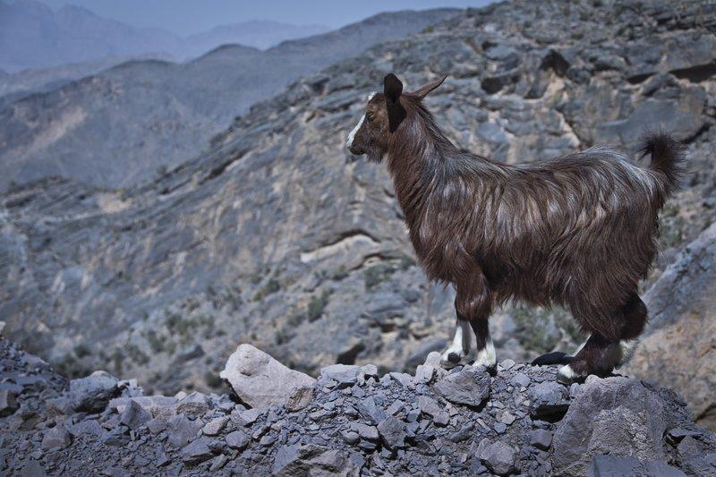 large_Wadi_Bani_Awf_-_Goat_1.jpg