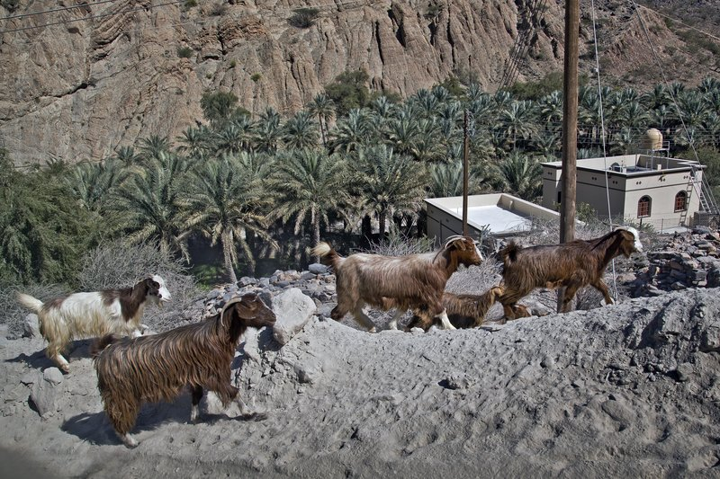 large_Wadi_Bani_Awf_54_-_Goats.jpg