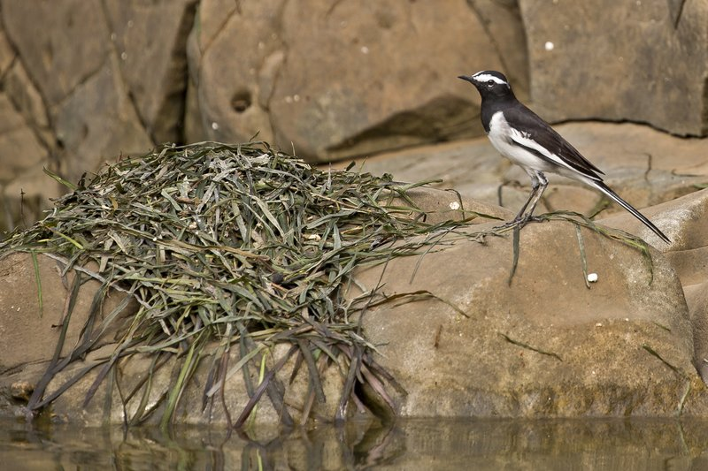 large_Wagtail__White_Browed_1.jpg