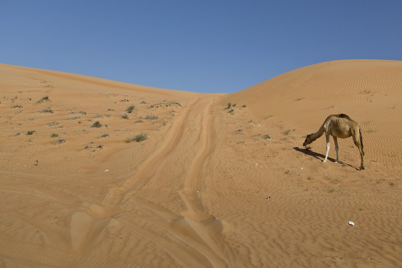 large_Wahiba_Sands_-_Camel_2.jpg