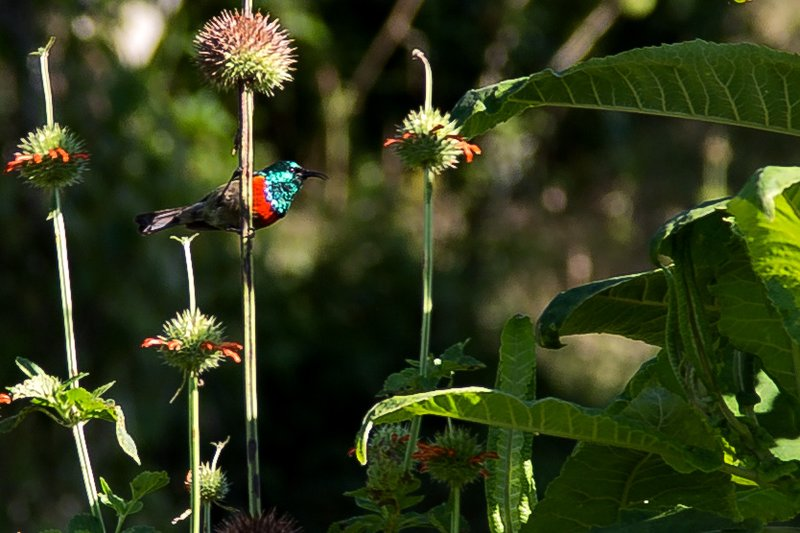large_Walking_Sa..l_Sunbird_1.jpg