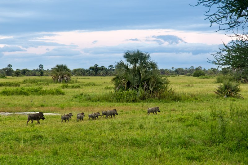 large_Warthogs_at_Maramboi_21.jpg