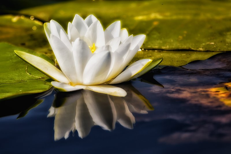 large_Water_Lily_22A.jpg
