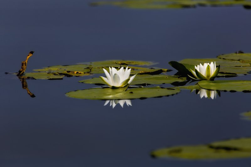 large_Water_Lily_26A.jpg