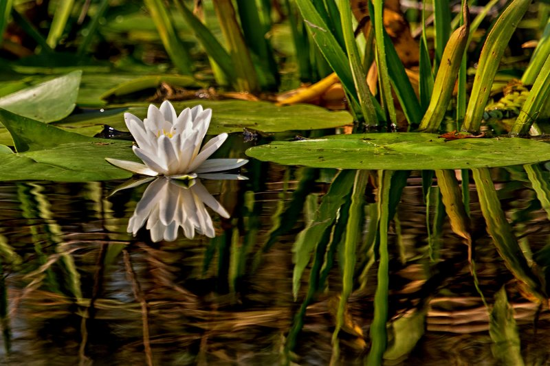 large_Water_Lily_4A.jpg
