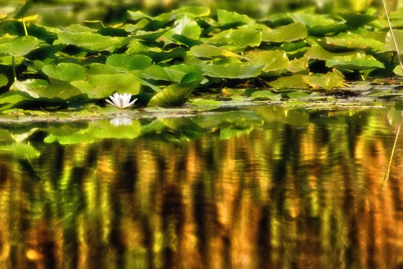 large_Water_Lily_5A.jpg