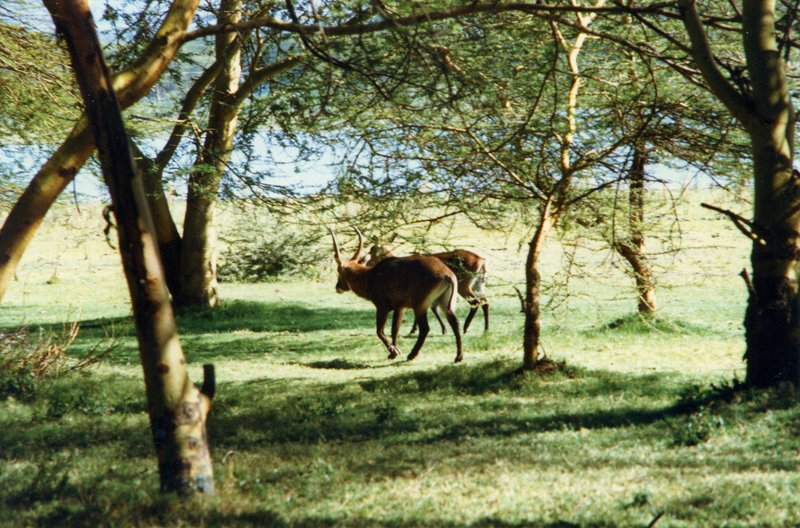 large_Waterbuck_..sland___016.jpg