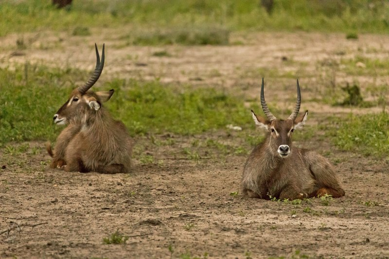 large_Waterbuck__Common_2.jpg