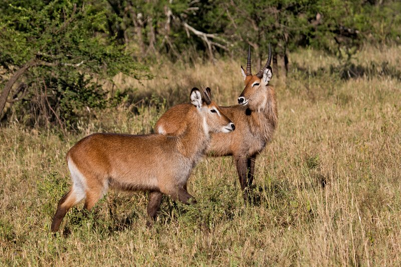 large_Waterbuck__Defassa_9-2.jpg