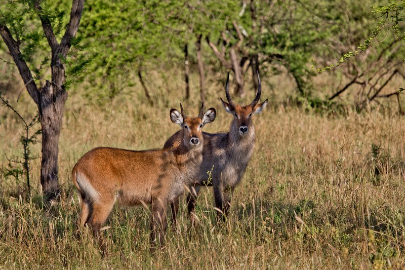 large_Waterbuck__Defassa_9-8.jpg