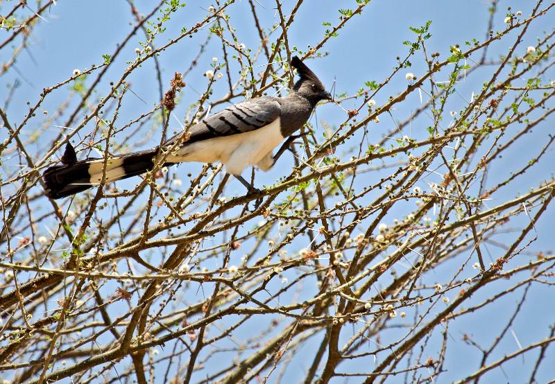 large_White_Bell..Away_Bird_1.jpg