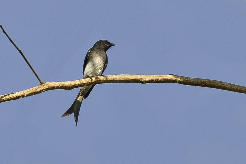 large_White_Bellied_Drongo_1.jpg