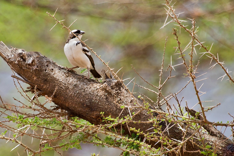 large_White_Browed_Sparrow_4.jpg