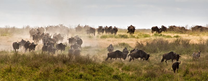 large_Wildebeest.._Valley_8-2.jpg