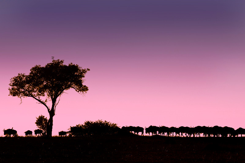 large_Wildebeest..e_Sunrise_1.jpg