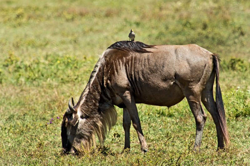 large_Wildebeest..tarling_6-2.jpg