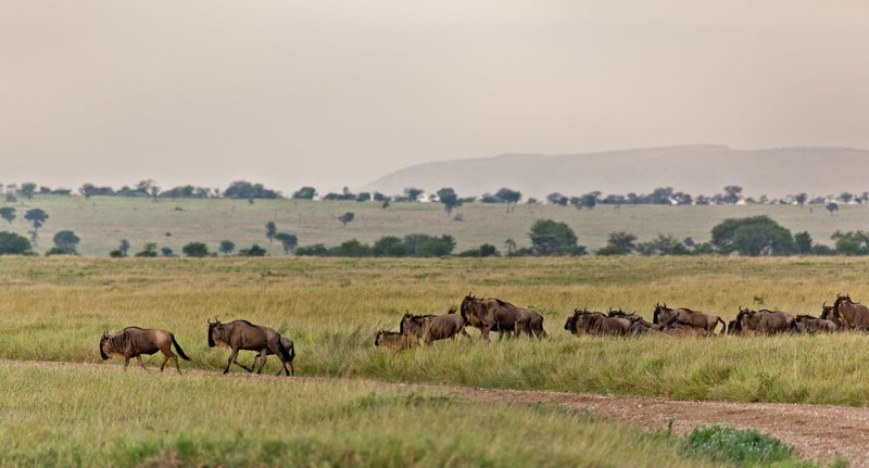 large_Wildebeest_10-15.jpg