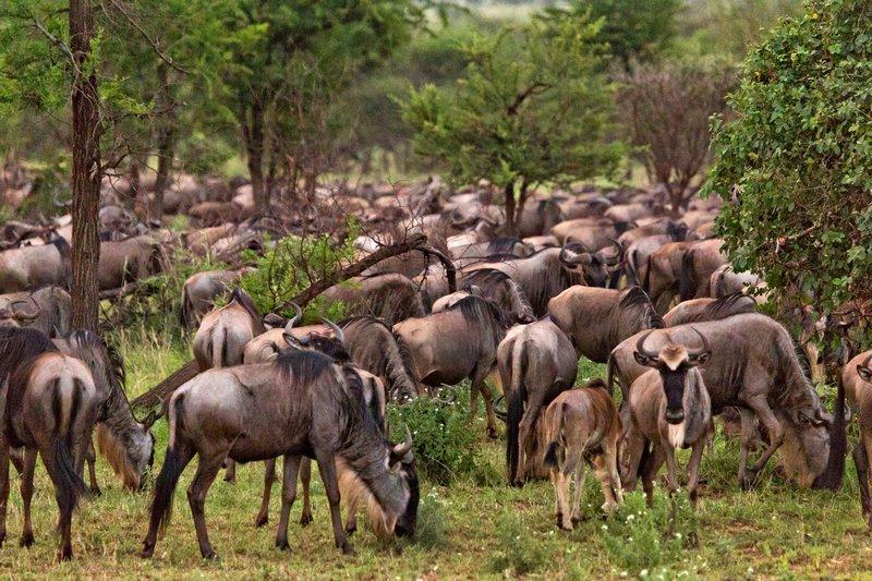 large_Wildebeest_11-2.jpg
