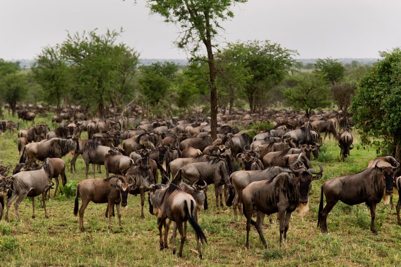 large_Wildebeest_11-21.jpg