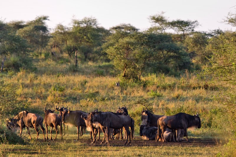 large_Wildebeest_12-1.jpg