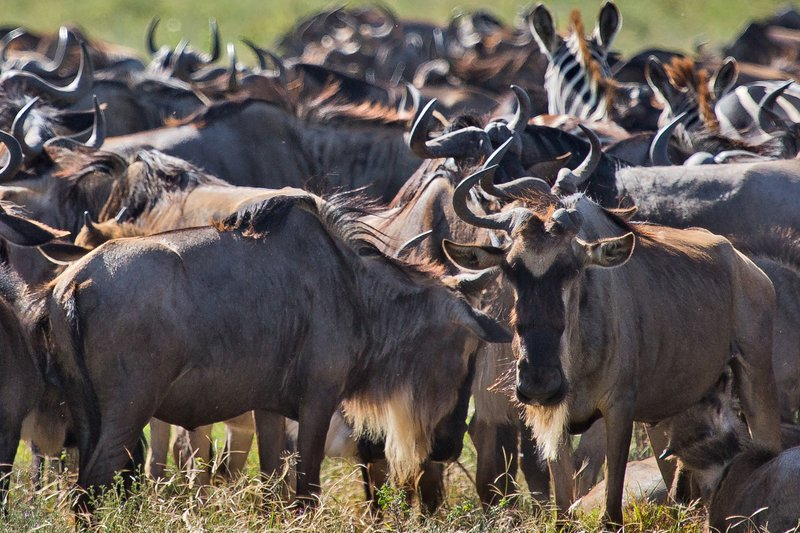 large_Wildebeest_12-5.jpg