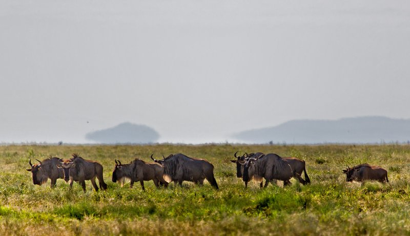 large_Wildebeest_12-8.jpg