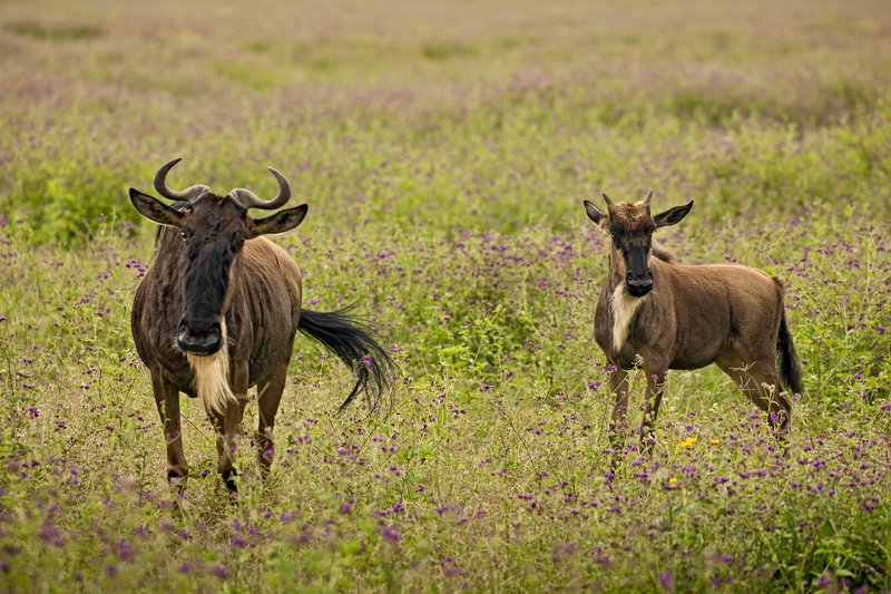 large_Wildebeest_21.jpg