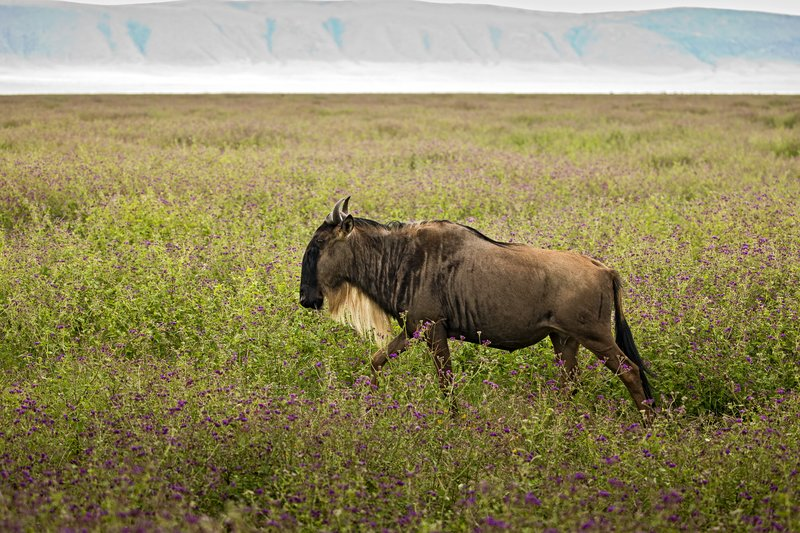 large_Wildebeest_22.jpg
